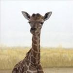 Fotók: Bemutatkozik a veszprémi zsiráf-újszülött