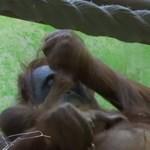 Bemutatkozott a világnak a Párizsban született borneói orangutánkölyök