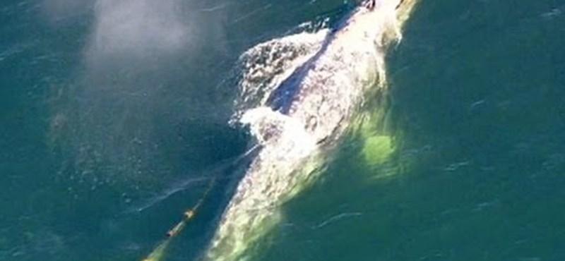 Videó: bálnamentés a levegőből