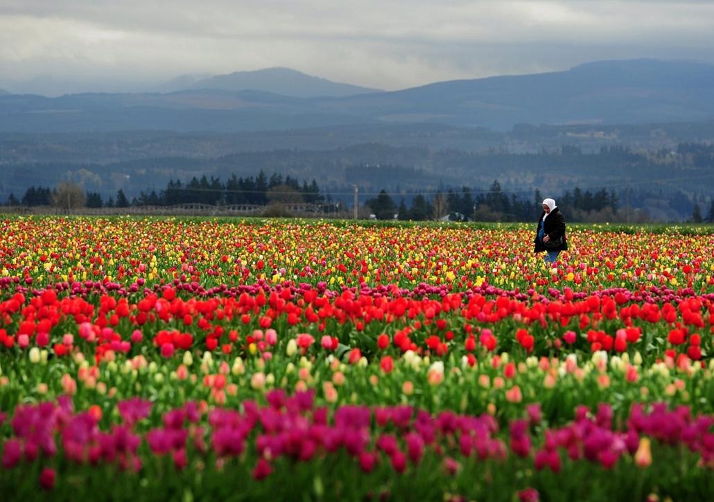 AP!!! április 4. hét képei - 2015.03.23. Woodburn, Tulipánfesztivál Oregonban, Egy nő megy a Wooden Shoe farmon rendezett tulipánfesztiválon az Oregon állambeli Woodburnben 2015. március 22-én.