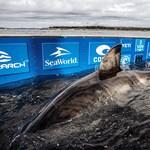 Óriási, 1,6 tonnás fehér cápát fogtak tengerbiológusok