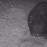Újabb vombatbébi született a Fővárosi Állatkertben