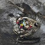 Ez baj: a tengeri teknősöket a műanyagok kinézete és szaga is vonzza