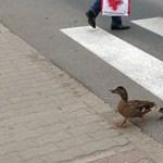 Fotók: szabályosan közlekedő kacsacsalád tűnt fel a szegedi forgalomban