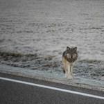 Megvédik a magyar farkasokat