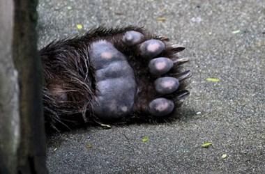 Engedély nélkül kilőtt medvék miatt emeltek vádat két magyar vadász és egy preparátor ellen