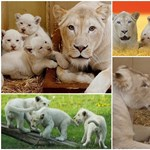 Csodás nagymacska boom egy lengyelországi állatkertben