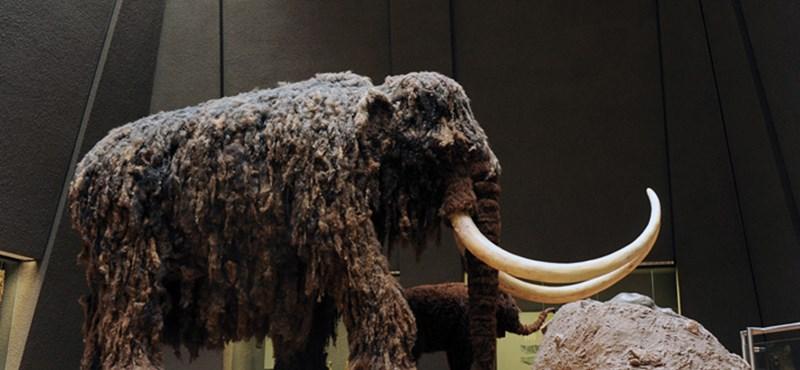Kiderült, miért pusztultak el az utolsó mamutok