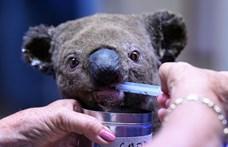 Kórházban gyógyulnak a megégett koalák – képek