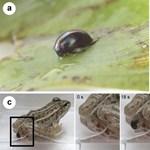 Most először videózták le a trükkös bogarat, ami egyszerűen kimászik az őt lenyelő békából – hátul