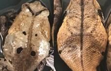 Ilyet még nem láttak a kutatók: egy varangy magát kígyónak álcázva rázza le a támadóit