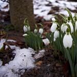 Kertész tippek: ültessünk hóvirágot - még nem késő!