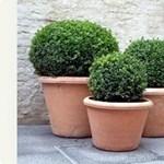 Szép kert egyszerűen - Buxus teraszokra és erkélyekre