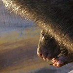 Ritka, aranyszőrű vombat született egy ausztrál vadasparkban