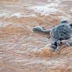 A koronavírus miatti leállásnak köszönhetően 20 éve nem látott mennyiségű fészket raktak ritka teknősök