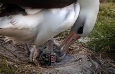 70 éves is elmúlt a világ legidősebb madara, nemrég mégis költött