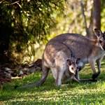 Szándékosan gázolhattak halálra 20 kengurut Ausztráliában