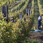 Tovább csökkenhet a magyarországi bortermelés