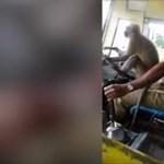 Majom vezette a buszt Indiában – felfüggesztették a sofőrt