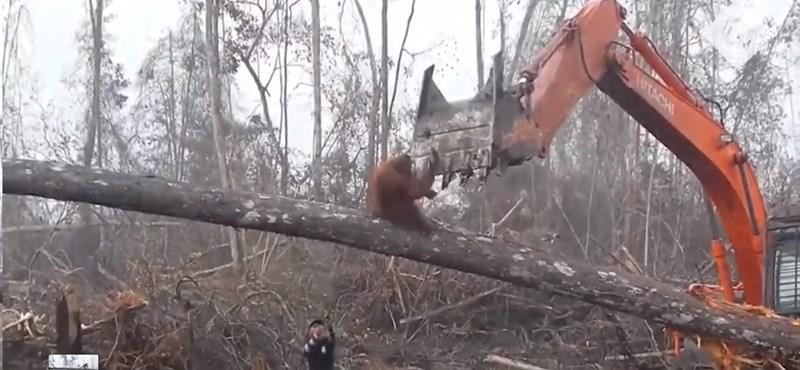 Így próbálta megmenteni otthonát az orángután a buldózertől
