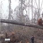 Igazi 22-es csapdája a pálmaolaj bojkottja, orangutánt biztos nem ment vele