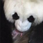 Fotó: Nem kell messzire menni egy pandabocsért