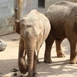 Ázsiai elefántok érkeztek a Szegedi Vadasparkba