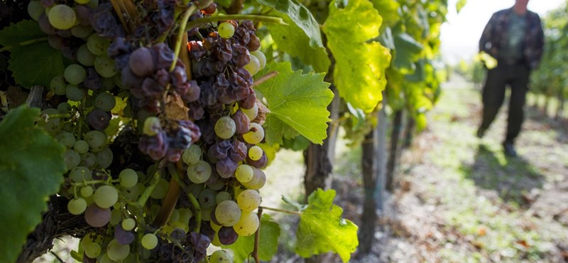 A nagy tokaji borpancsolás története