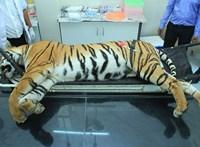 """Vonat gázolhatta halálra a megölt """"emberevő"""" tigris árván maradt kölykeit"""