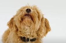 Kifejezetten kutyáknak írtak karácsonyi dalt