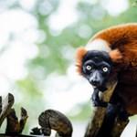 Zseniális biológiai kvíz: milyen állat az okapi vagy a vörös vari?