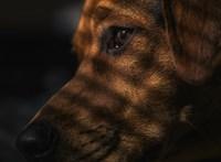Állatvédők 196 dél-koreai kutyát mentettek meg attól, hogy megegyék őket