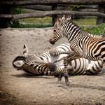 Elege van a sorosozásból? Nézegessen cuki zebracsikót!
