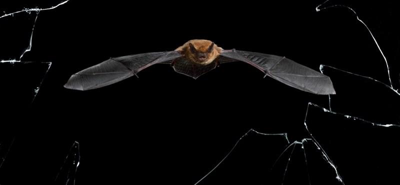 2018 dwarf bat flew km, but a cat was already waiting in Russia