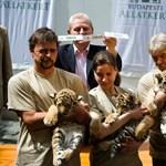 Virgil, Thrax és Manu - Tarlós elkeresztelte az állatkert kistigriseit - fotógaléria
