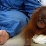 Megdöbbentő videó egy háziállatként tartott, traumatizált orangutánbébiről