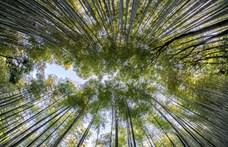 Nébih: Illegális a bambusz pohár, hamarosan súlyos bírság vár arra, aki ilyet forgalmaz