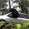 Közeledett az autójához a sofőr, amikor rádudált belőle a medve - videó