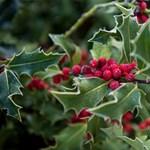 A klímaváltozás egyes karácsonyi örökzöldeknek kedvez, más növényeknek nem