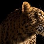 Leopárd tépett szét egy kisgyereket Ugandában