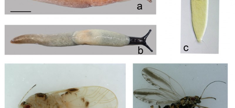 Sok új fajt fedeztek fel nálunk tavaly, a gond csak az, hogy nagy részük invazív vagy kártevő