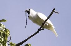Különleges nevű madár a világ leghangosabbja