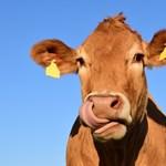 Szomjas marhákra költi nyereményét a szerencsés lottózó