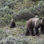 Nincs veszélyben Maci Laci, nem engedik a grizzlyvadászatot a Yellowstone Parkban