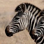 Fogadjunk, nem látott még szőke zebrát