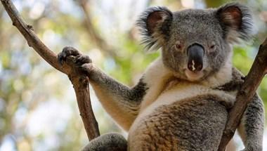Úgy tűnik, megvan a világ legszexibb koalája