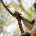 Nyitva hagyta a kocsiajtót, mire visszaért, egy koala mászott a hátsó ülésre – videó
