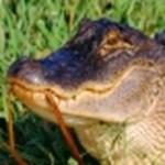 Az Amazon.com elnézést kér: a csomagot megette egy krokodil
