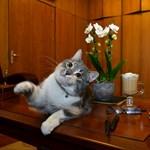 Naptárcsillag lesz a gödöllői önkormányzat hivatali macskájából a kutyák örömére