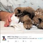 Császármetszéssel világra jött gepárdbébik életéért küzdenek a Cincinnati Állatkertben